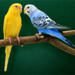 Как научить говорить попугайчика?